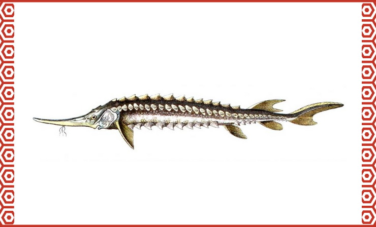 Sevruga Is the Smallest of the Caviar-Producing Sturgeons